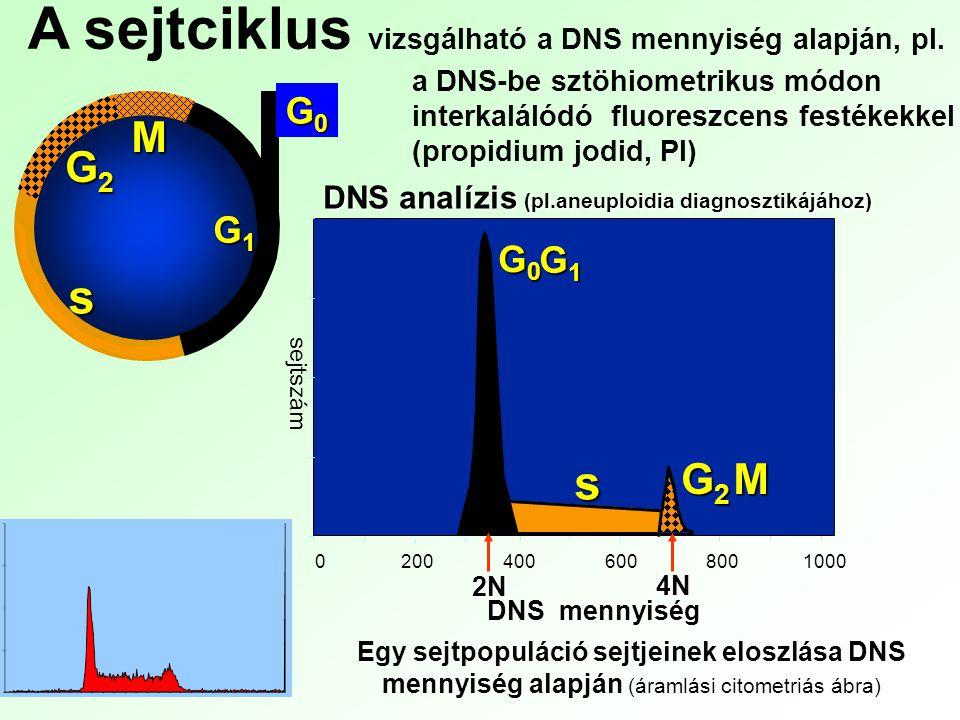 A sejtciklus vizsgálható a DNS mennyiség alapján, pl.