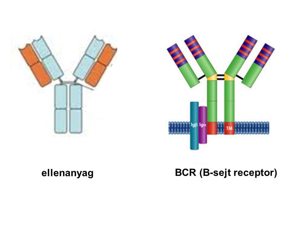 ellenanyag BCR (B-sejt receptor)