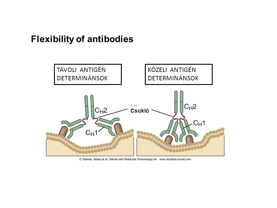 Flexibility of antibodies