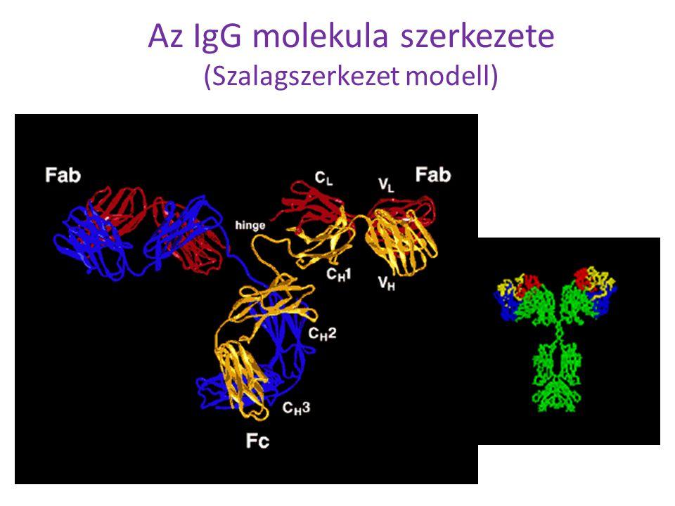 Az IgG molekula szerkezete