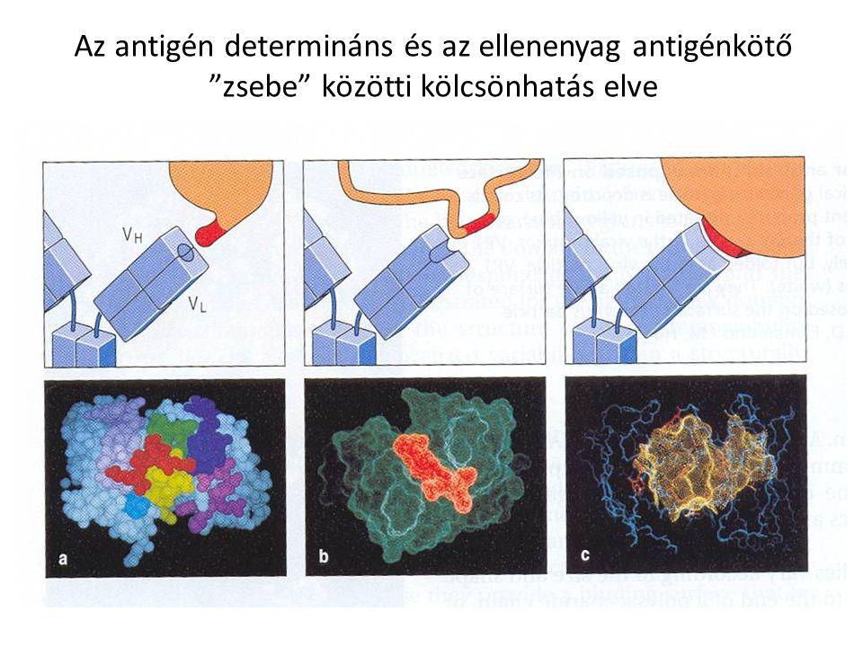 Az antigén determináns és az ellenenyag antigénkötő zsebe közötti kölcsönhatás elve