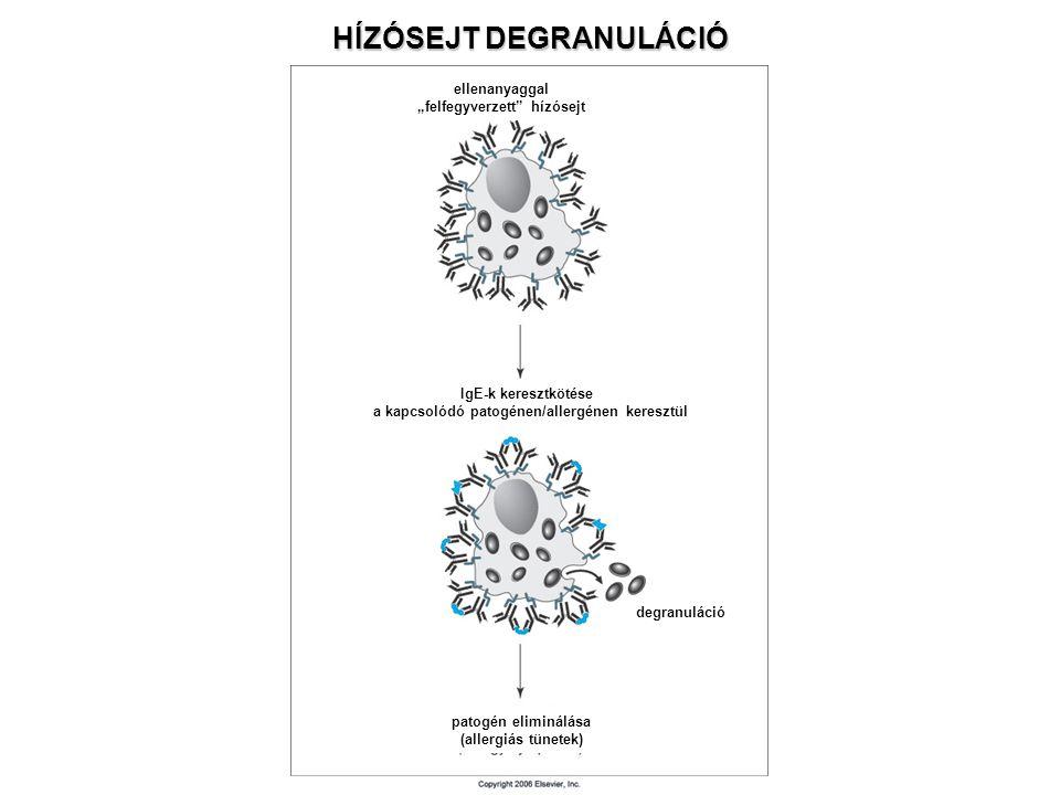 """""""felfegyverzett hízósejt a kapcsolódó patogénen/allergénen keresztül"""