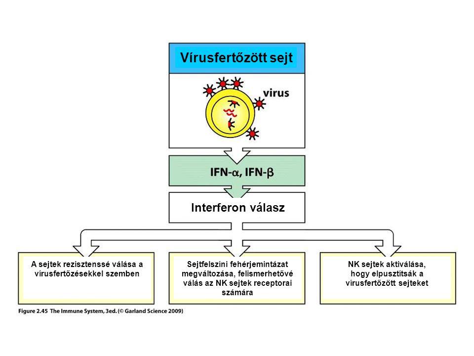 Vírusfertőzött sejt Interferon válasz