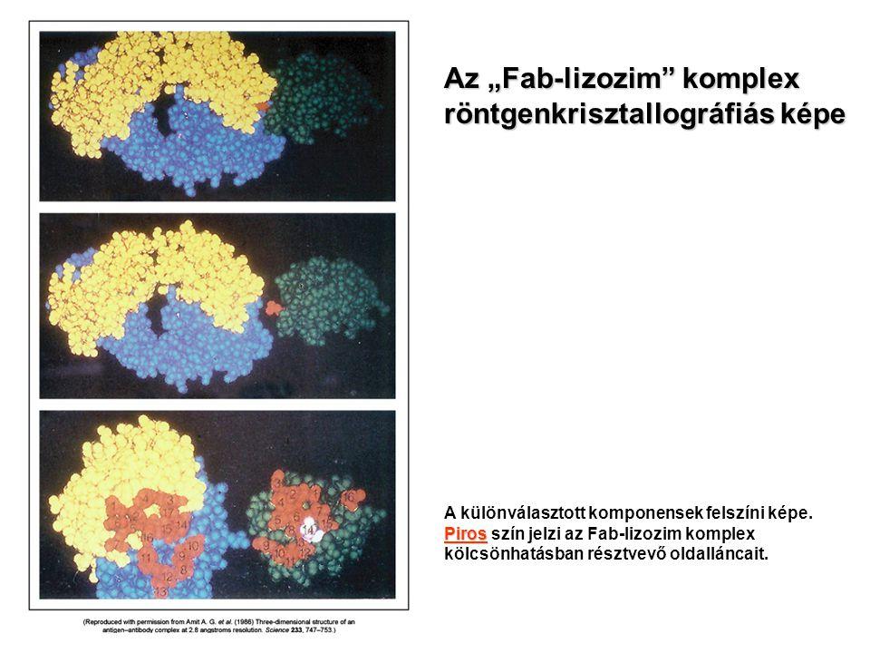 """Az """"Fab-lizozim komplex röntgenkrisztallográfiás képe"""