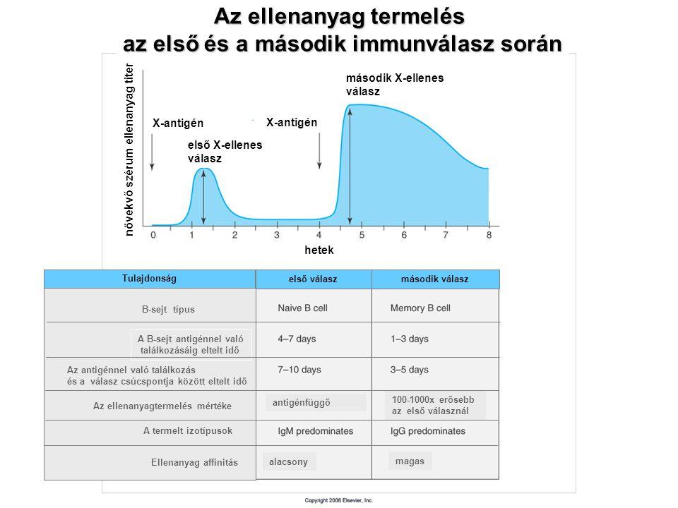 Az ellenanyag termelés az első és a második immunválasz során