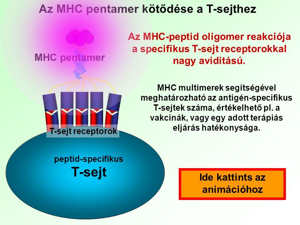 T-sejt Az MHC pentamer kötődése a T-sejthez
