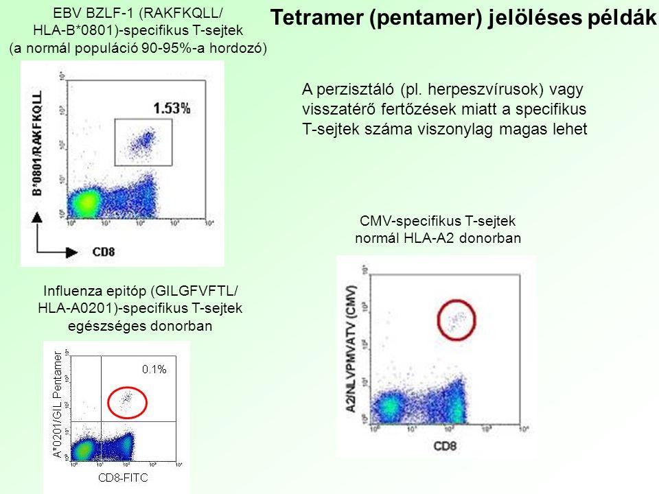 CMV-specifikus T-sejtek normál HLA-A2 donorban