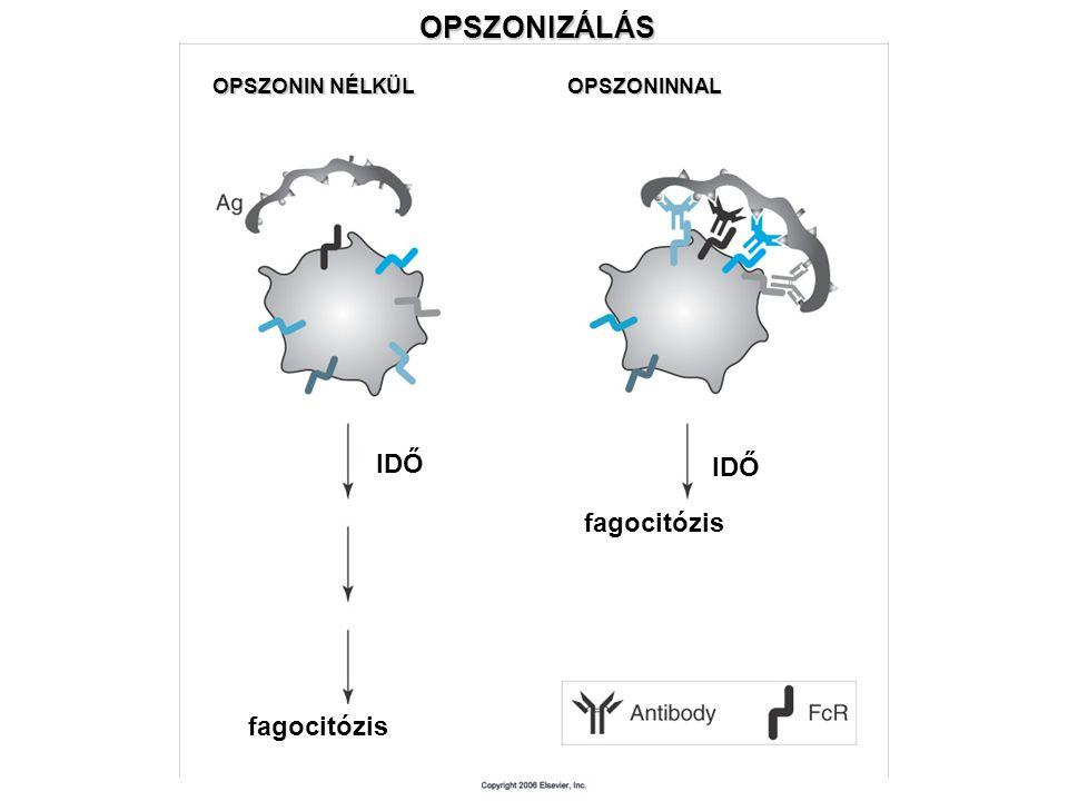 OPSZONIZÁLÁS IDŐ IDŐ fagocitózis fagocitózis OPSZONIN NÉLKÜL