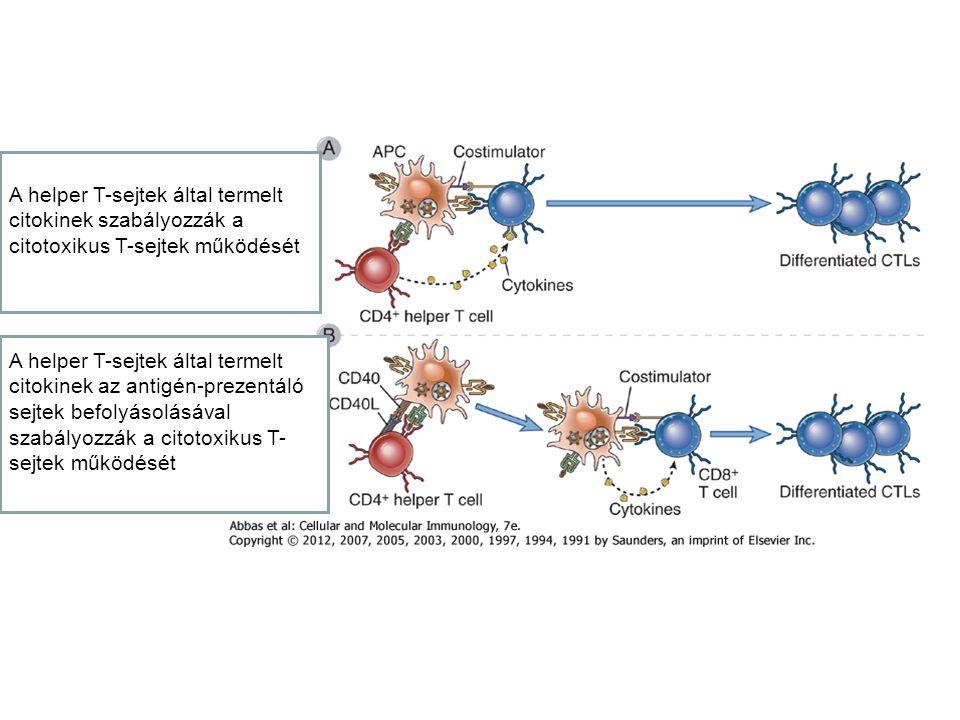 A helper T-sejtek által termelt citokinek szabályozzák a citotoxikus T-sejtek működését