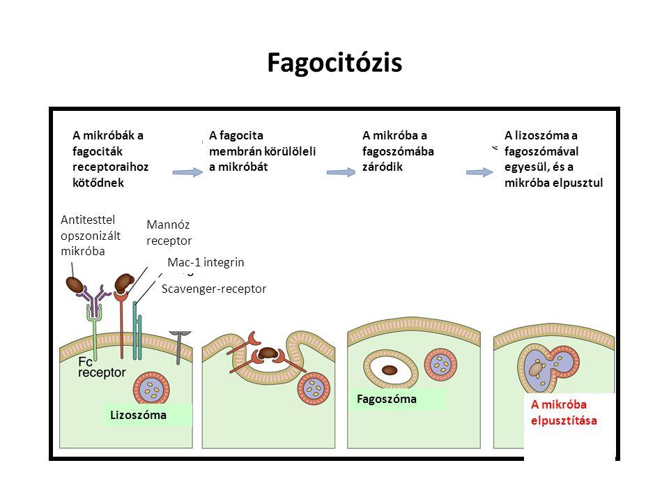 Fagocitózis A mikróbák a fagociták receptoraihoz kötődnek