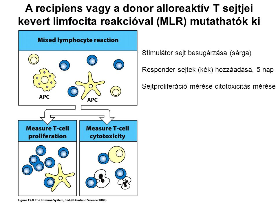 A recipiens vagy a donor alloreaktív T sejtjei