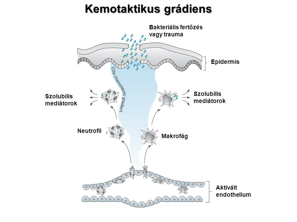 Kemotaktikus grádiens