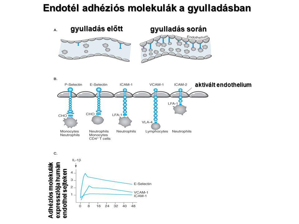Endotél adhéziós molekulák a gyulladásban