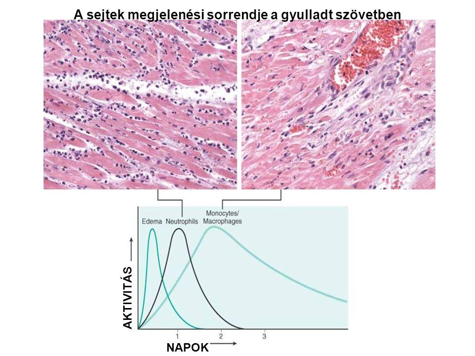A sejtek megjelenési sorrendje a gyulladt szövetben