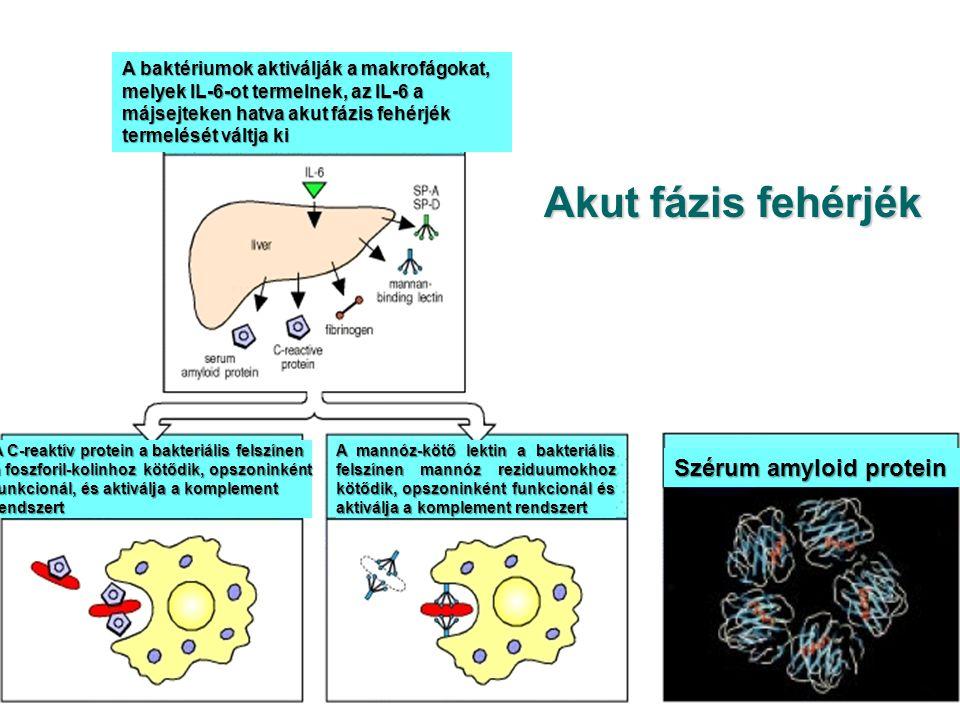 Akut fázis fehérjék Szérum amyloid protein