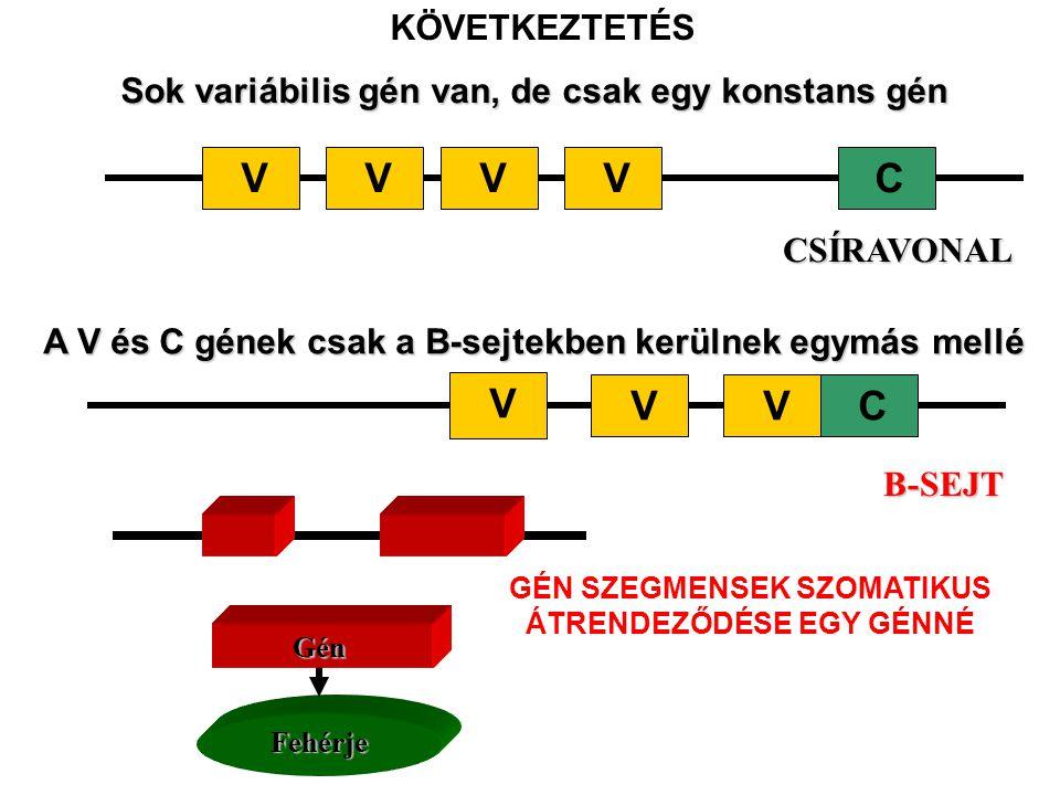Sok variábilis gén van, de csak egy konstans gén