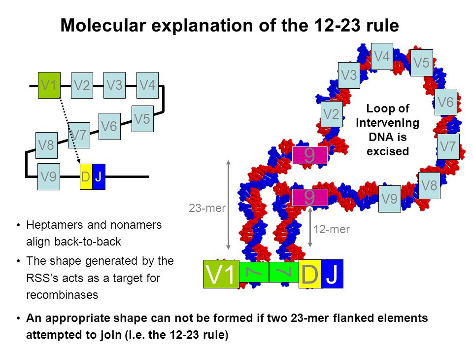 Molecular explanation of the 12-23 rule