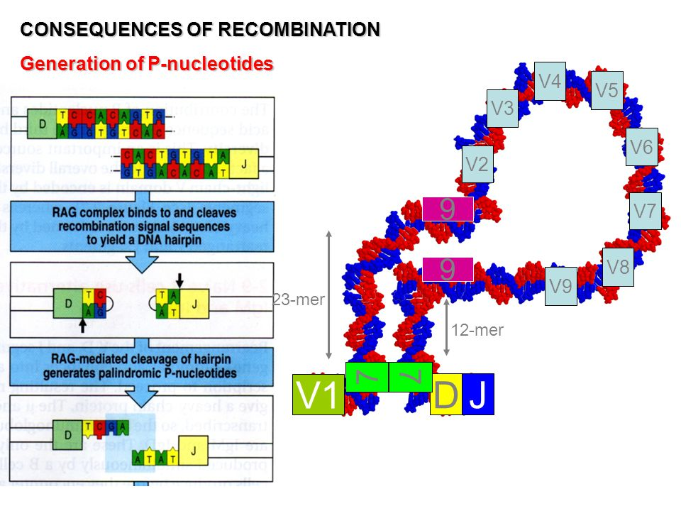 V1 D J 9 7 CONSEQUENCES OF RECOMBINATION Generation of P-nucleotides