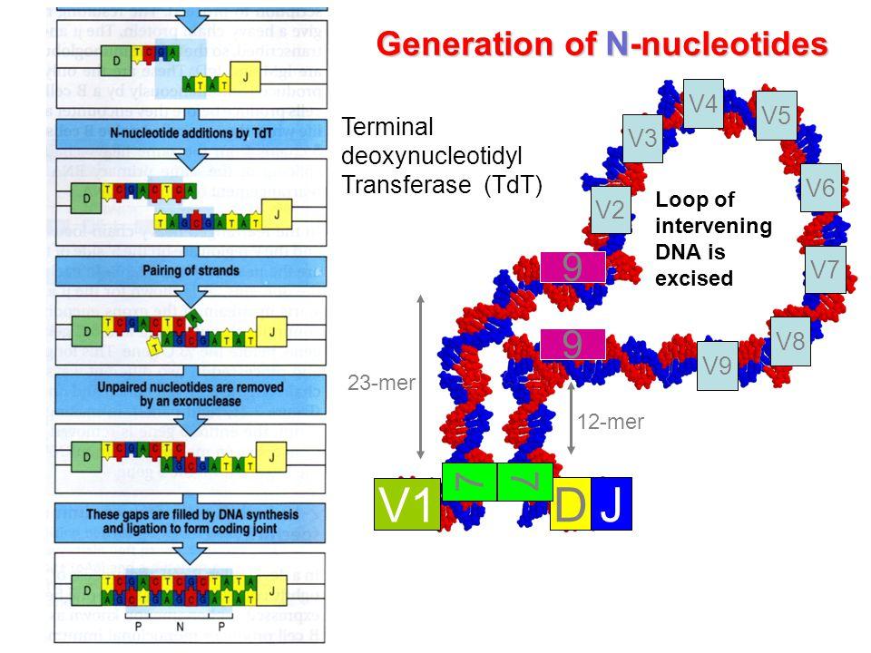 V1 D J 9 7 Generation of N-nucleotides V4 V5