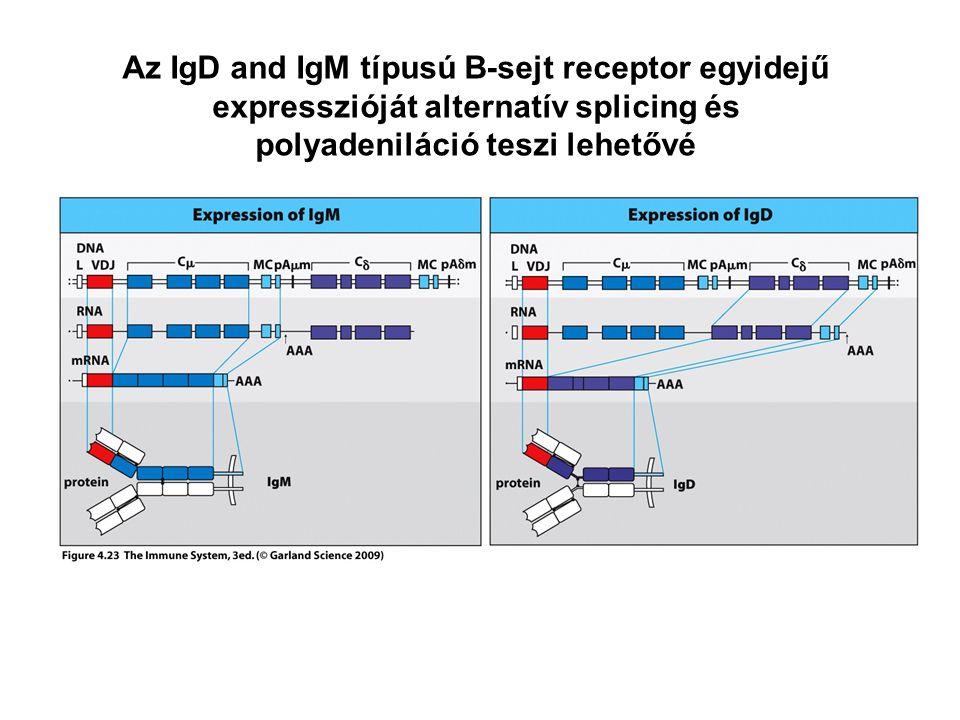 Az IgD and IgM típusú B-sejt receptor egyidejű expresszióját alternatív splicing és polyadeniláció teszi lehetővé