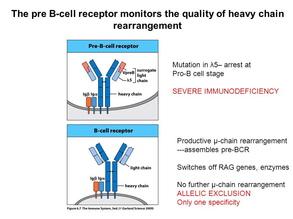 The pre B-cell receptor monitors the quality of heavy chain rearrangement
