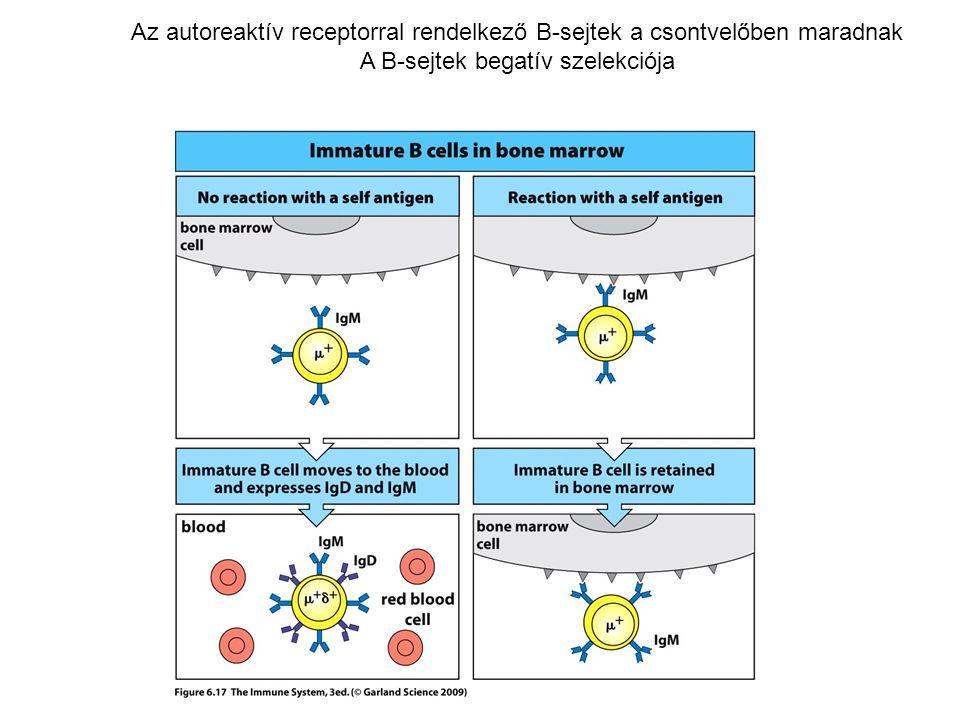 Az autoreaktív receptorral rendelkező B-sejtek a csontvelőben maradnak