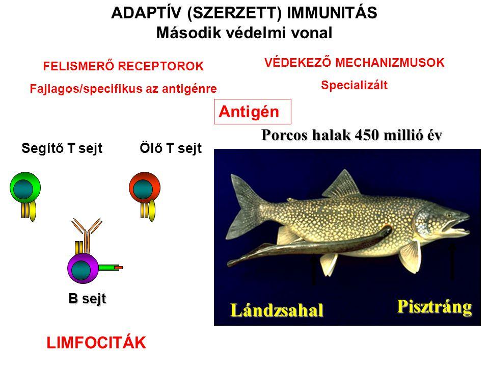 Pisztráng Lándzsahal ADAPTÍV (SZERZETT) IMMUNITÁS