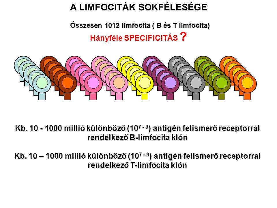 A LIMFOCITÁK SOKFÉLESÉGE Összesen 1012 limfocita ( B és T limfocita)