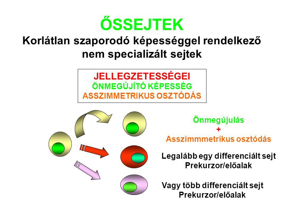 ŐSSEJTEK Korlátlan szaporodó képességgel rendelkező nem specializált sejtek
