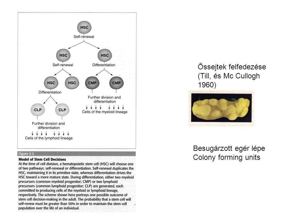 Őssejtek felfedezése (Till, és Mc Cullogh 1960) Besugárzott egér lépe Colony forming units
