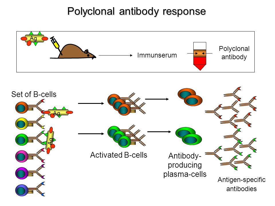 Polyclonal antibody response