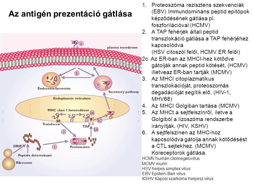 Az antigén prezentáció gátlása