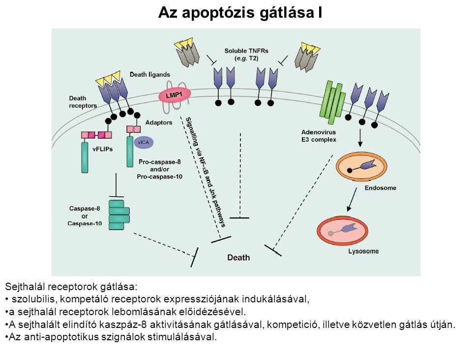 Az apoptózis gátlása I Sejthalál receptorok gátlása: