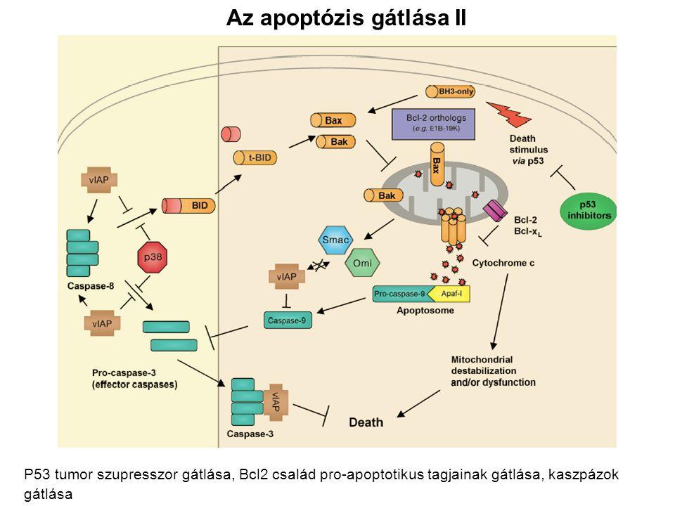Az apoptózis gátlása II