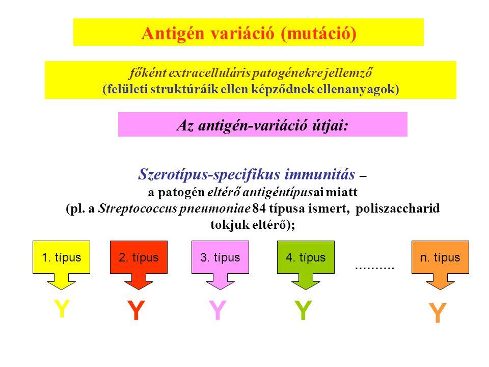 Y Y Y Y Y Antigén variáció (mutáció) Az antigén-variáció útjai: