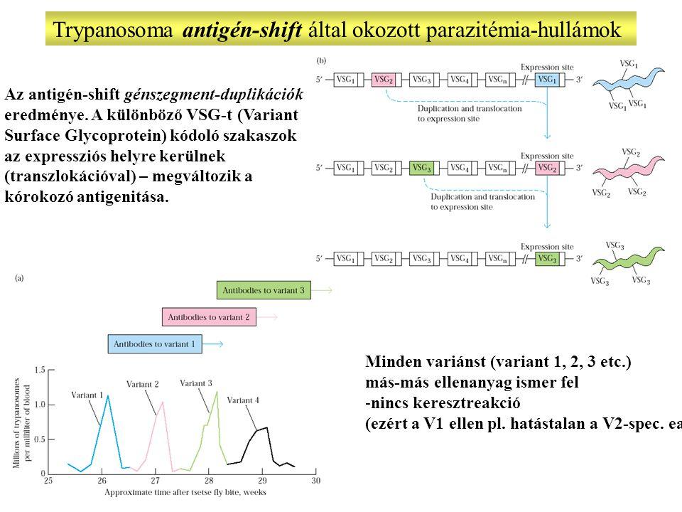Trypanosoma antigén-shift által okozott parazitémia-hullámok