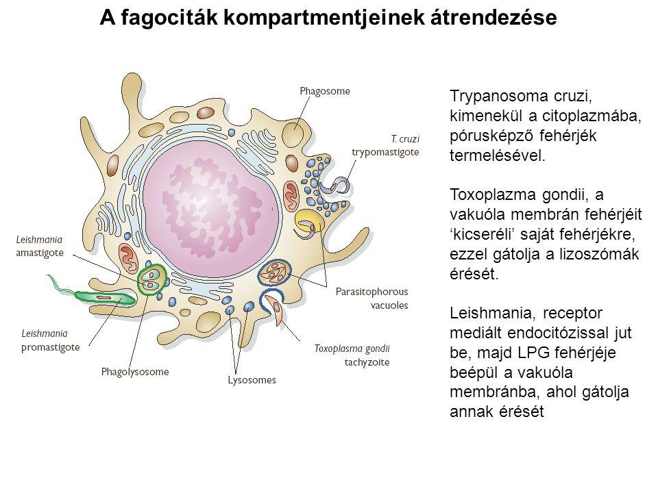 A fagociták kompartmentjeinek átrendezése