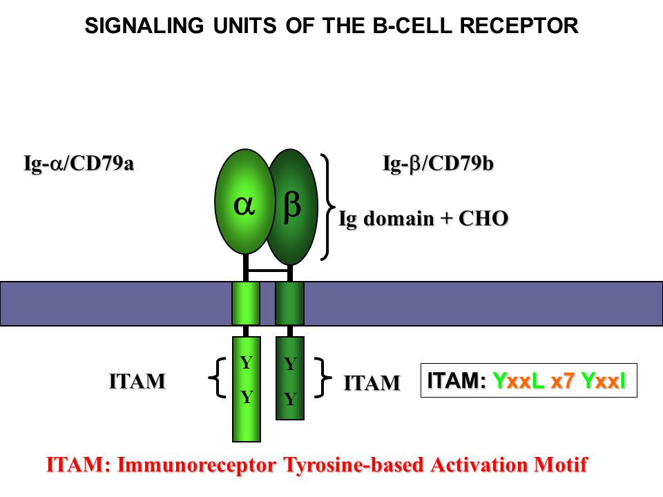 SIGNALING UNITS OF THE B-CELL RECEPTOR