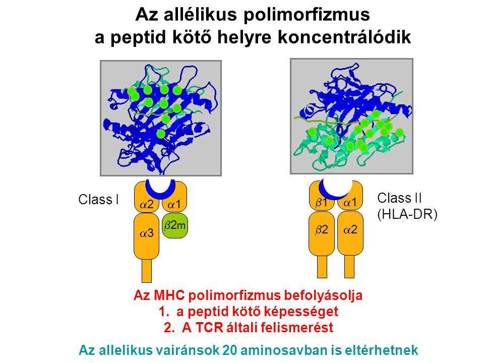Az allélikus polimorfizmus a peptid kötő helyre koncentrálódik