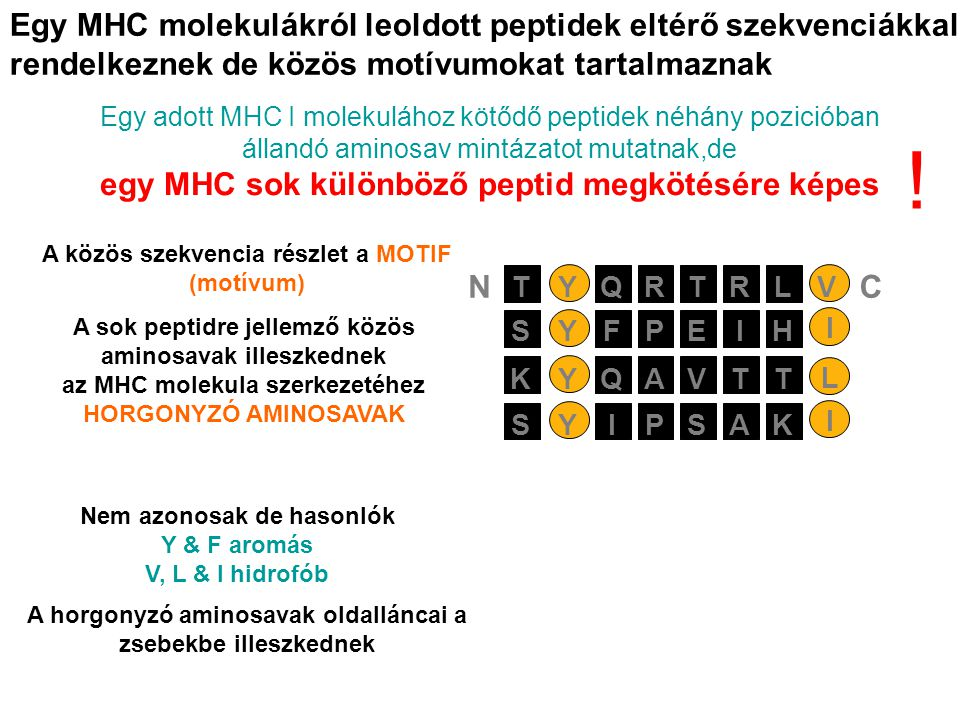 Egy MHC molekulákról leoldott peptidek eltérő szekvenciákkal rendelkeznek de közös motívumokat tartalmaznak