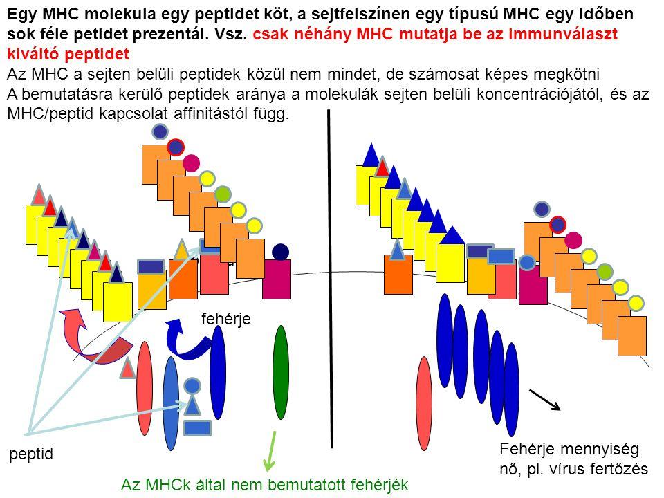 Egy MHC molekula egy peptidet köt, a sejtfelszínen egy típusú MHC egy időben sok féle petidet prezentál. Vsz. csak néhány MHC mutatja be az immunválaszt kiváltó peptidet