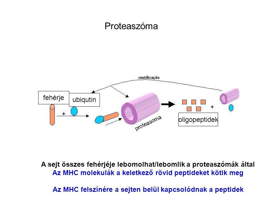 Proteaszóma fehérje ubiqutin oligopeptidek