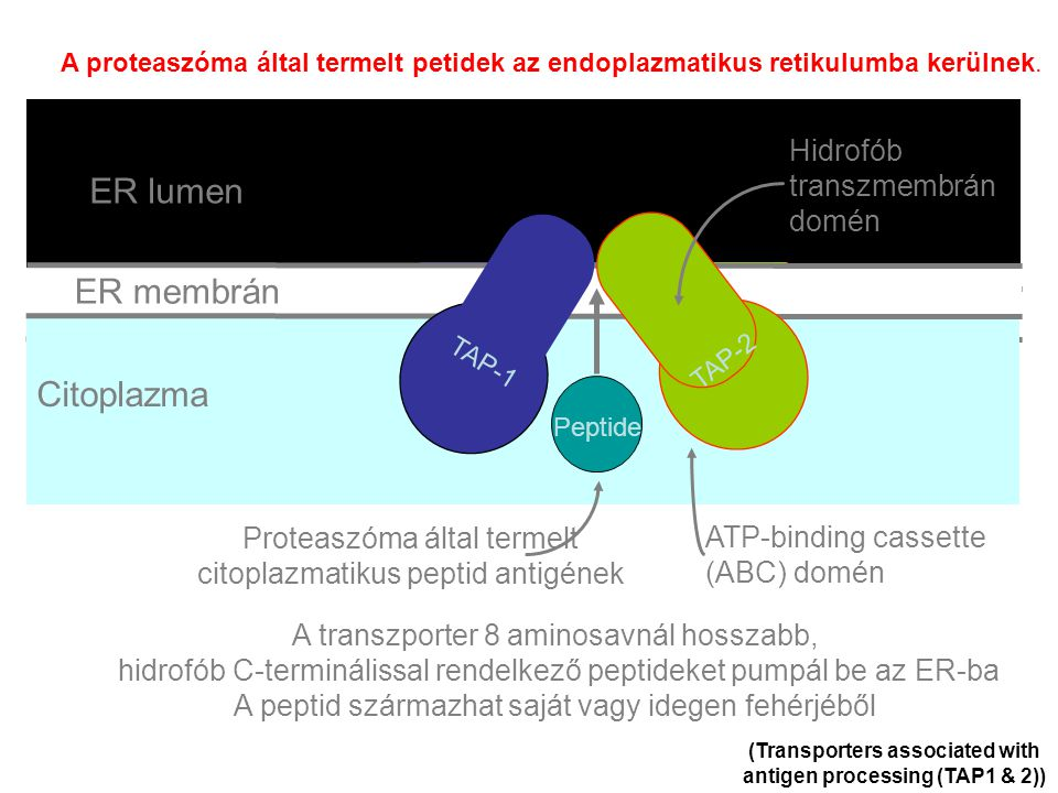 (Transporters associated with antigen processing (TAP1 & 2))
