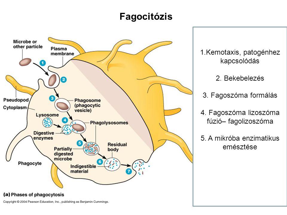 Fagocitózis 1.Kemotaxis, patogénhez kapcsolódás 2. Bekebelezés