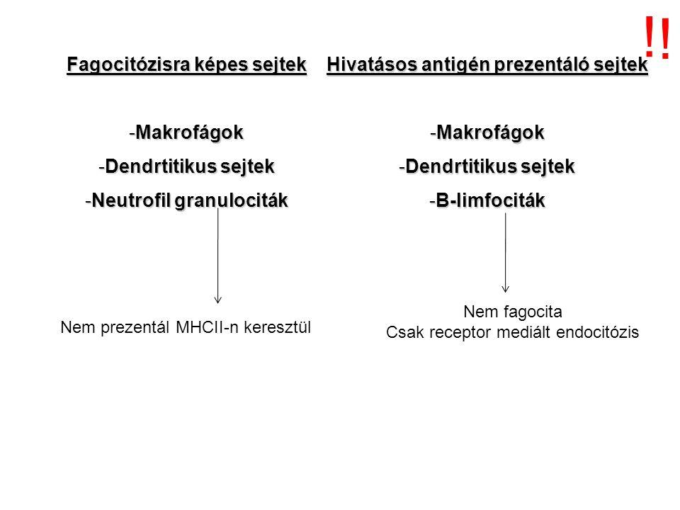 ! ! Fagocitózisra képes sejtek Hivatásos antigén prezentáló sejtek