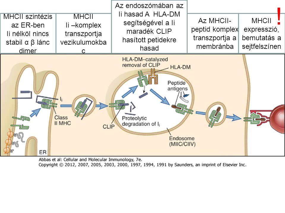 Az endoszómában az Ii hasad A HLA-DM segítségével a Ii maradék CLIP hasított petidekre hasad