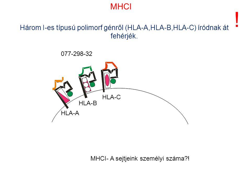 MHCI ! Három I-es típusú polimorf génről (HLA-A,HLA-B,HLA-C) íródnak át fehérjék. 077-298-32. HLA-C.