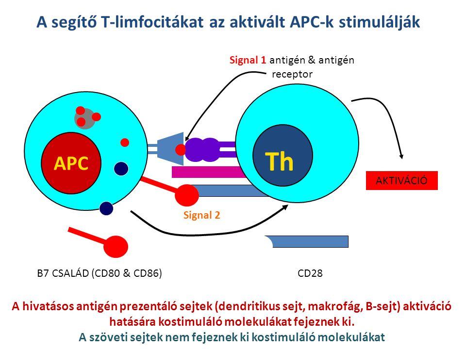 Th APC A segítő T-limfocitákat az aktivált APC-k stimulálják