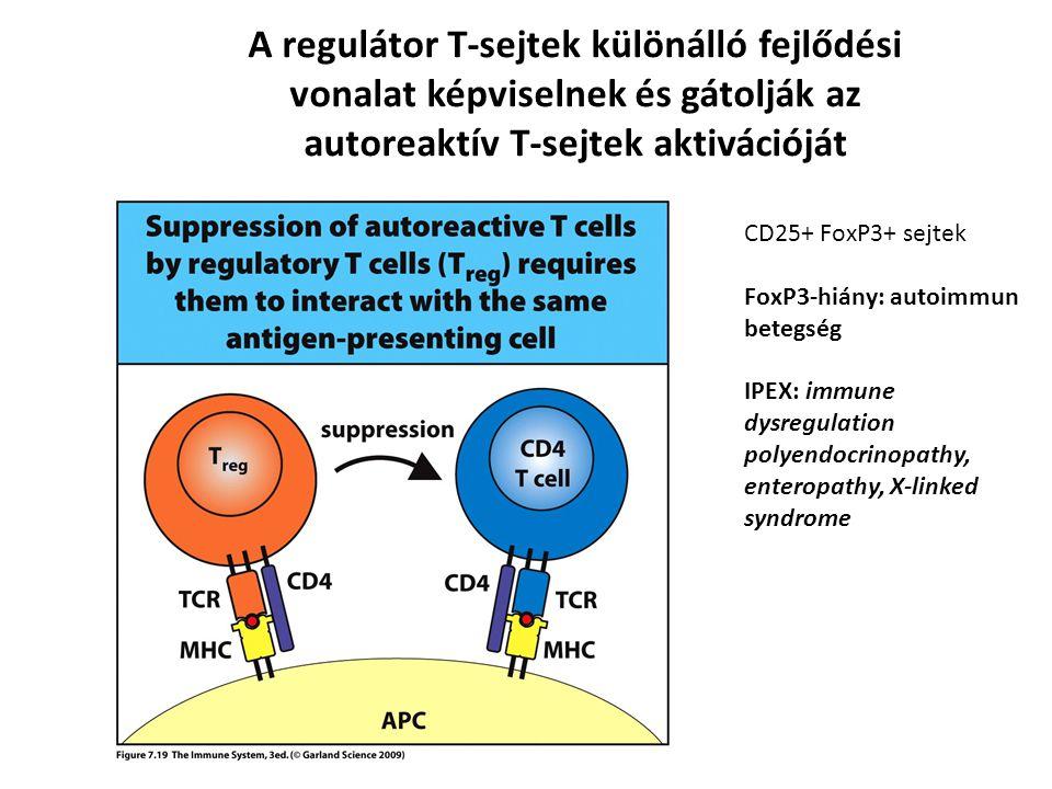 A regulátor T-sejtek különálló fejlődési vonalat képviselnek és gátolják az autoreaktív T-sejtek aktivációját