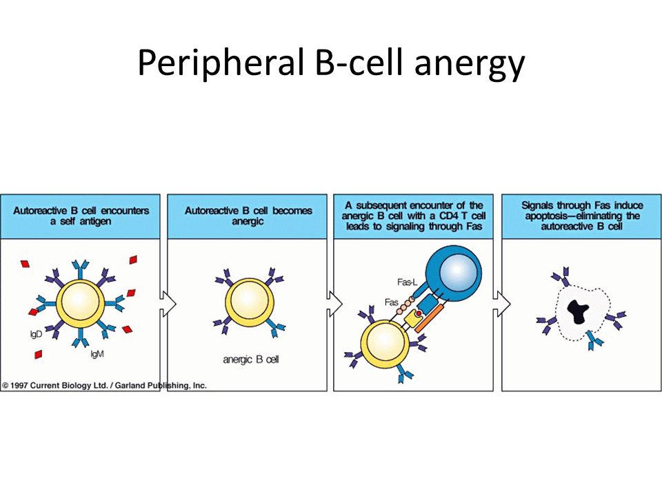 Peripheral B-cell anergy